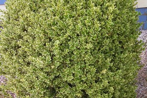 Buxus 'Aureovariegata'