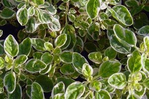 Oregano 'Country Cream'
