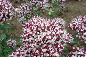 Oregano 'Zorba Red'