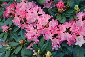 Rododendron 'Arctic Tern'