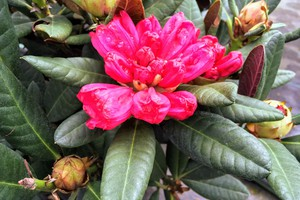 Rododendron 'Wine & Roses'