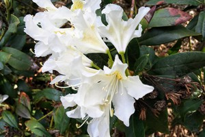 Rododendron 'Claudine'