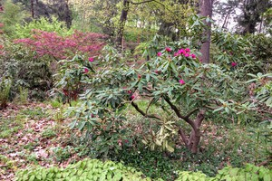 Rododendron 'Snipe'