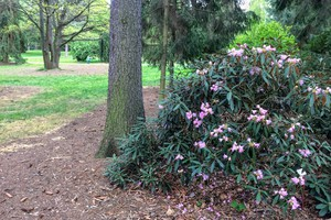 Rododendron 'Winsome'