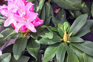 Rododendron 'Cheer'